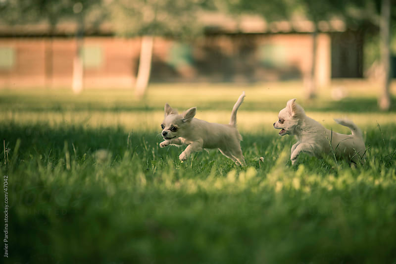 small chihuahuas running through the grass by Javier Pardina for Stocksy United