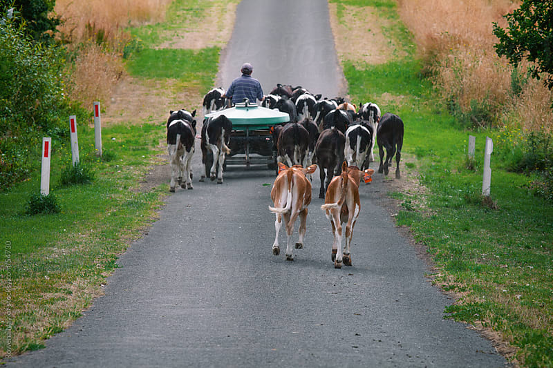 Farming Leading Dairy Calves along the Road by Rowena Naylor for Stocksy United