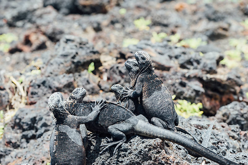 Galapagos Marine Iguanas Getting Freaky by Richard Brown for Stocksy United