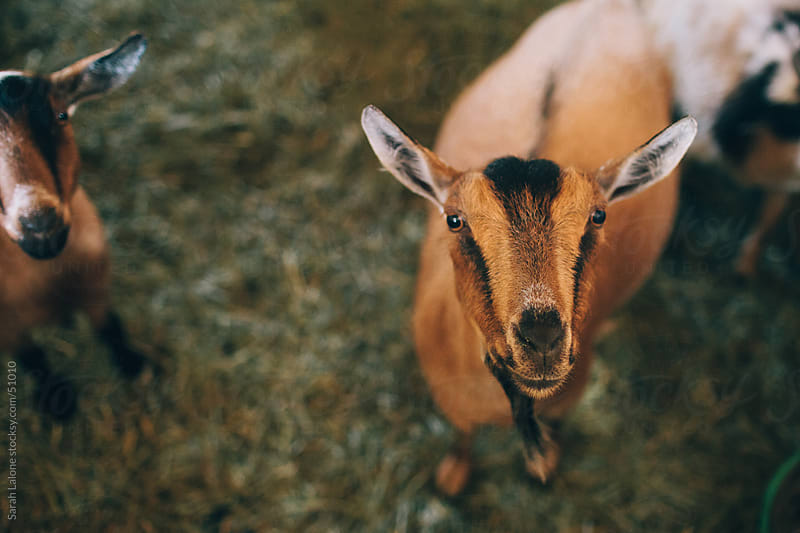Nigerian Dwarf goat in a pen looking over the door. by Sarah Lalone for Stocksy United