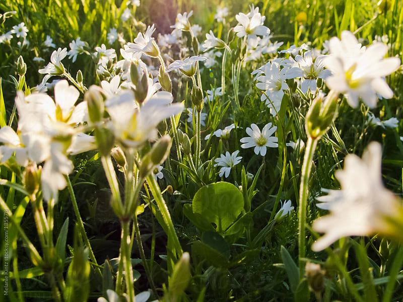 White flowers blooming in grass in spring by Melanie Kintz for Stocksy United