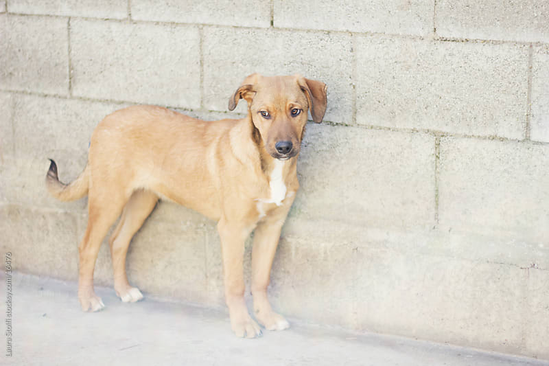 Portrait of a cute puppy standing close to wall in dog pound by Laura Stolfi for Stocksy United