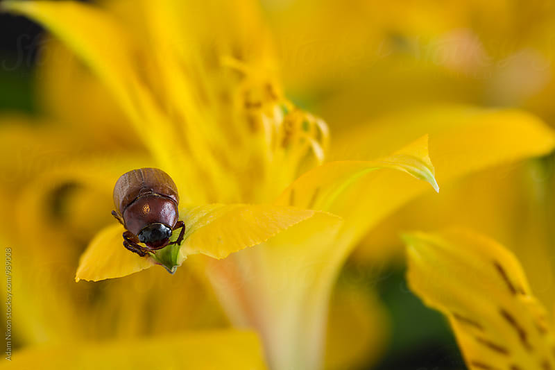 A beetle on a yellow flower petal by Adam Nixon for Stocksy United
