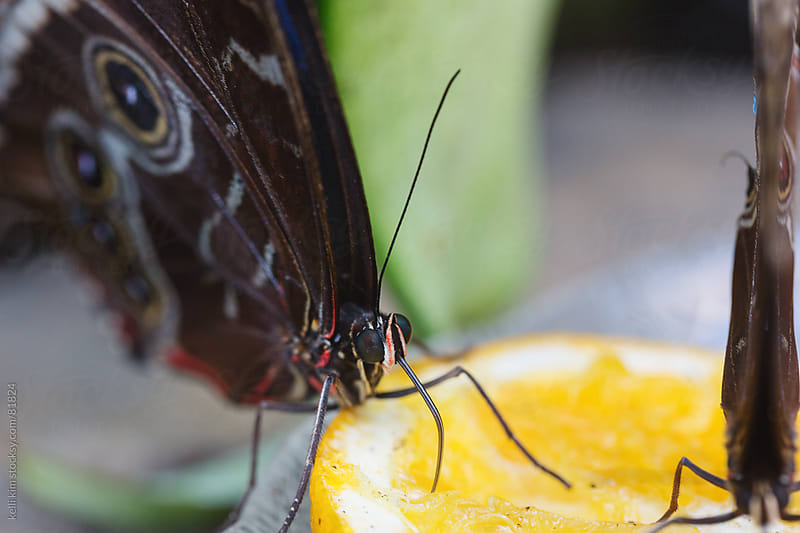 Closeup of butterflies drinking from an orange slice with probiscus by Kelli Seeger Kim for Stocksy United
