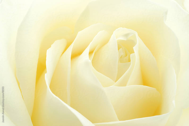 Beautiful White Rose by Jasmin Awad for Stocksy United