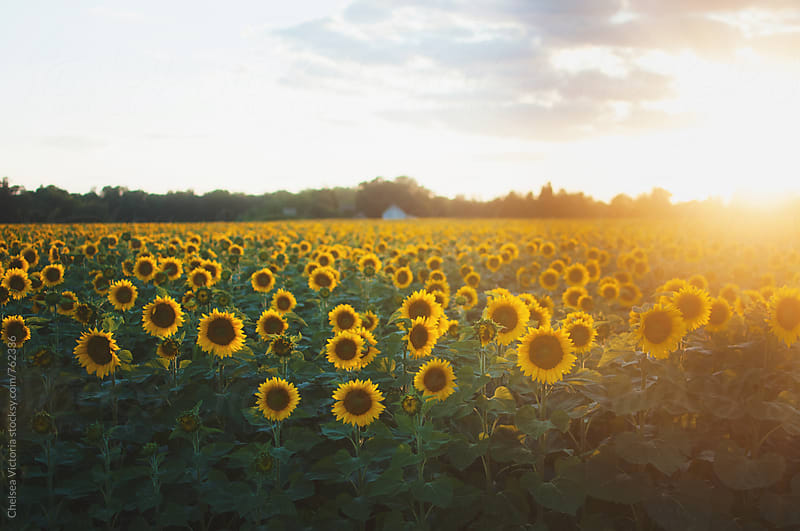 A sunflower field at sunset by Chelsea Victoria for Stocksy United
