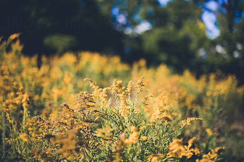 field of goldenrod in early fall by Sarah Lalone for Stocksy United