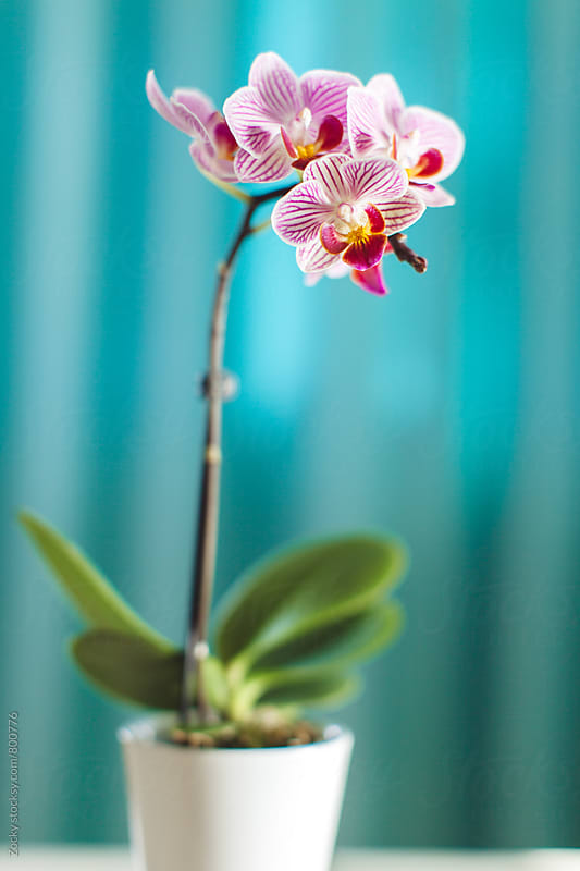 Orchid flower on white table by Zocky for Stocksy United