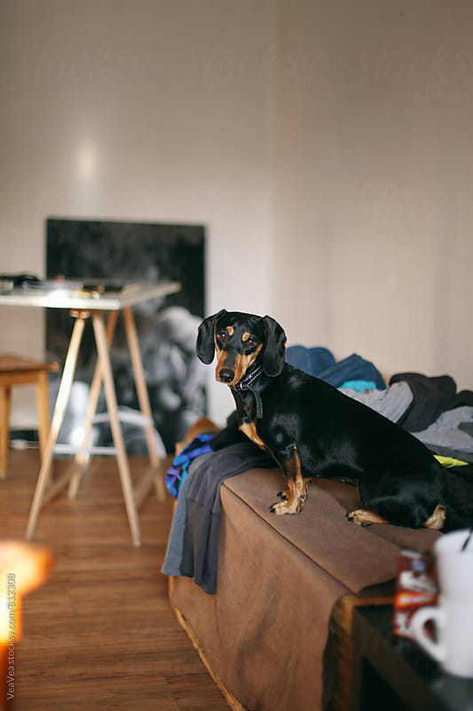 Adorable dachshund looking at camera  by Marija Mandic for Stocksy United