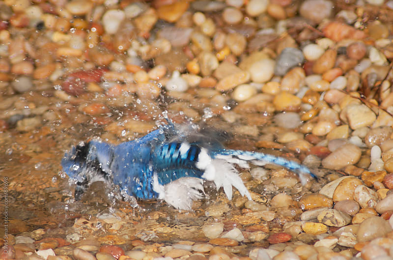 A blue jay taking a bath in a shallow stream by David Smart for Stocksy United