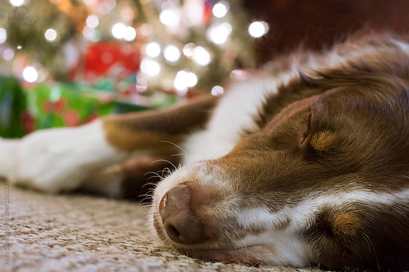 A dog sleeps on the floor in front of a Christmas tree. by Holly Clark for Stocksy United