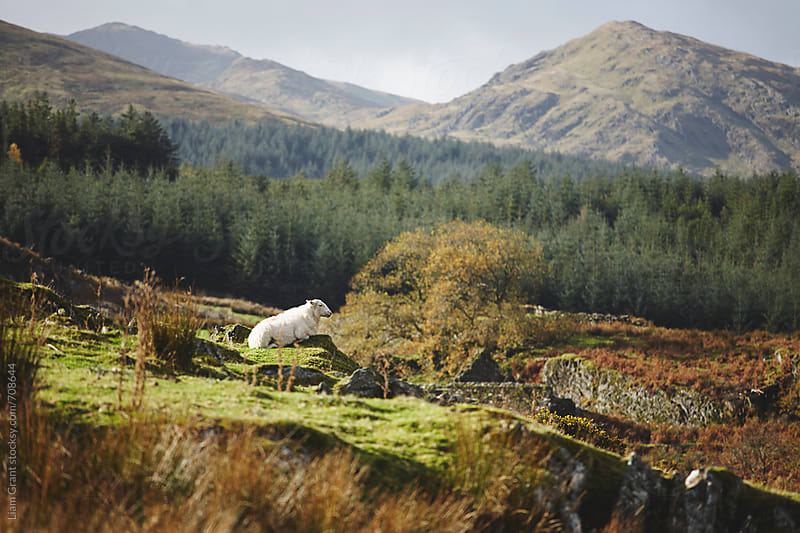 Lone sheep on the mountainside. Snowdonia, Wales, UK. by Liam Grant for Stocksy United
