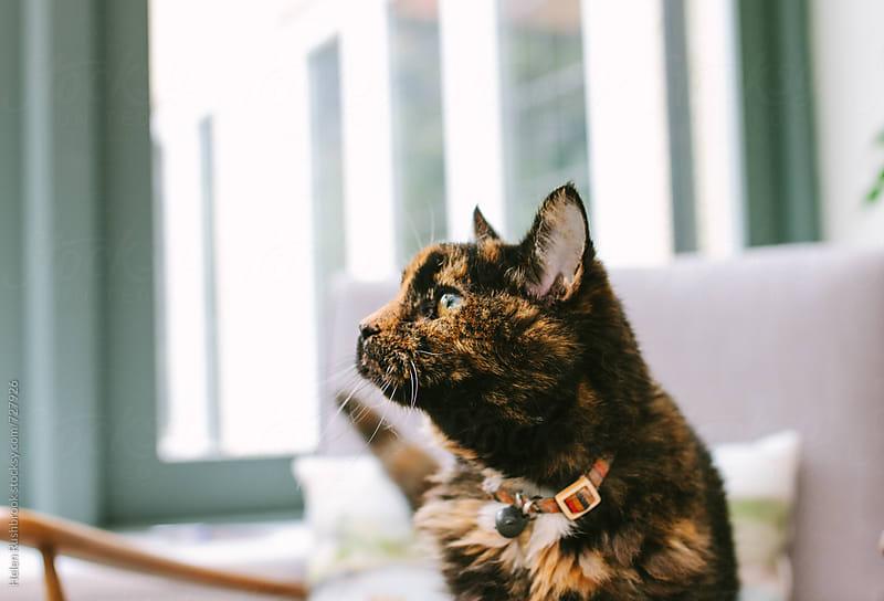 Tortoiseshell cat  by Helen Rushbrook for Stocksy United