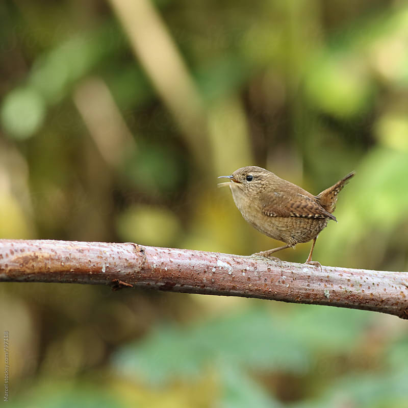 Eurasian wren (Troglodytes troglodytes) by Marcel for Stocksy United