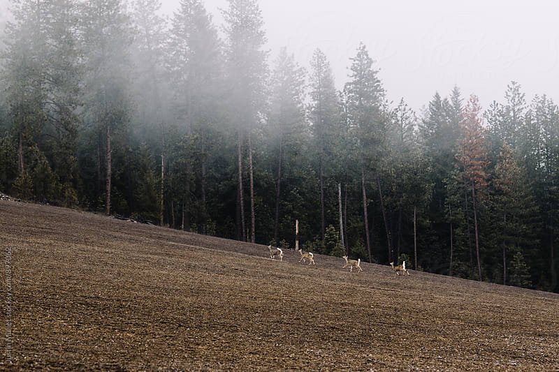 White tail deer running uphill in an empty field.  by Justin Mullet for Stocksy United