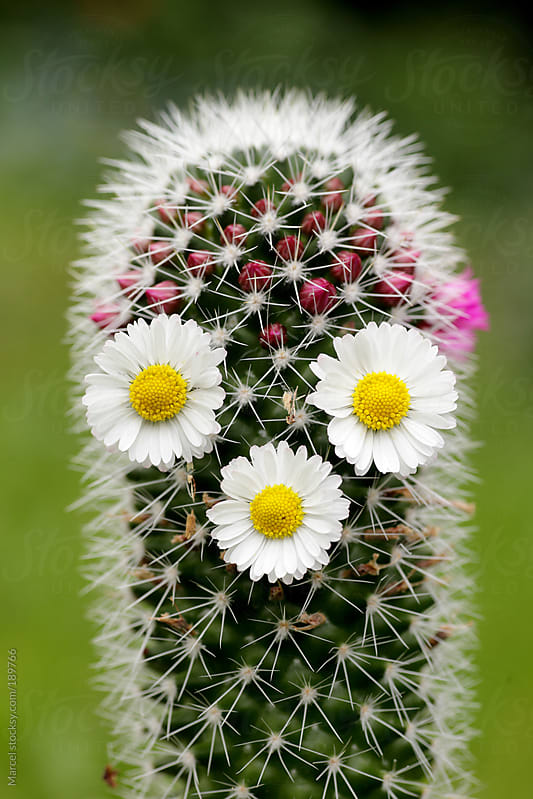 Cactus face with daisy flowers by Marcel for Stocksy United