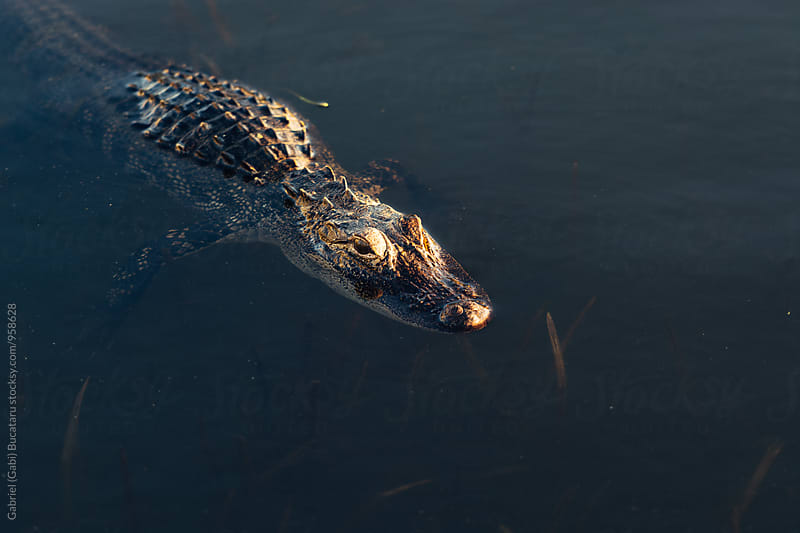 Young alligator floating by Gabriel (Gabi) Bucataru for Stocksy United