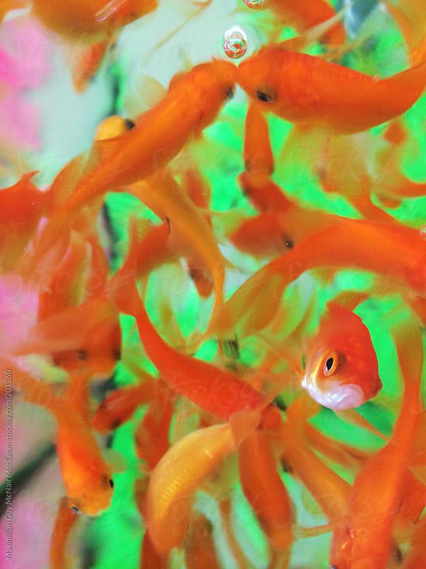 Goldfish by Maximilian Guy McNair MacEwan for Stocksy United