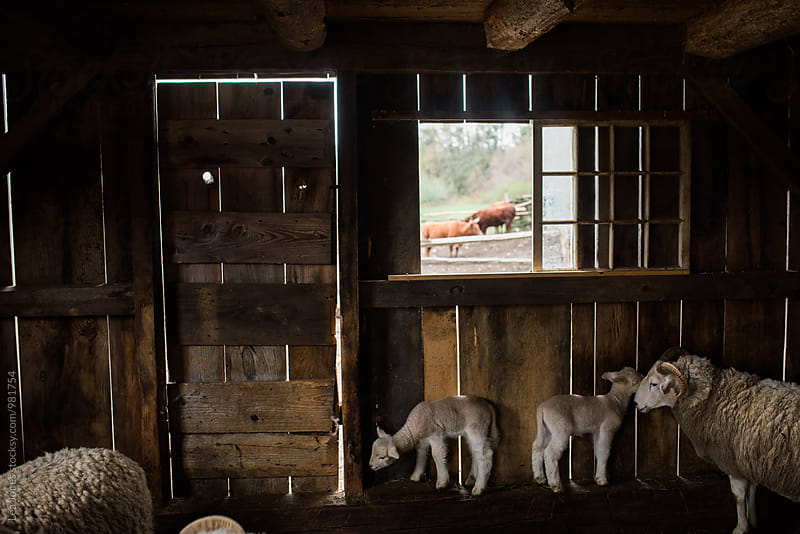 sheep in shed by Léa Jones for Stocksy United