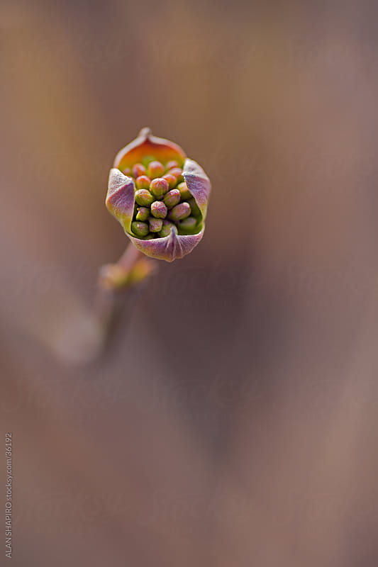 Dogwood about to flower  by ALAN SHAPIRO for Stocksy United