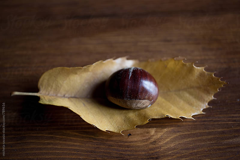 A chestnut on a leaf of chestnut tree by michela ravasio for Stocksy United
