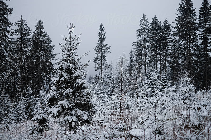 winter forest by Paul Schlemmer for Stocksy United