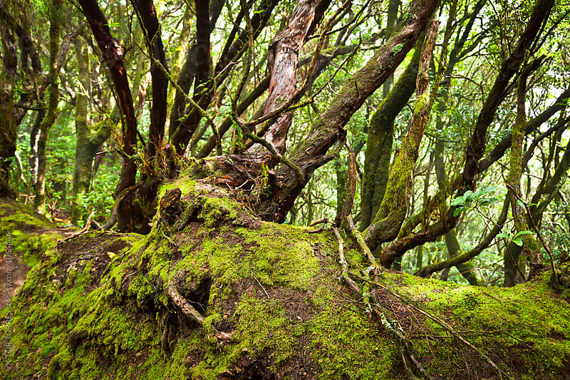 Forest in Anaga National Park, Tenerife by VICTOR TORRES for Stocksy United