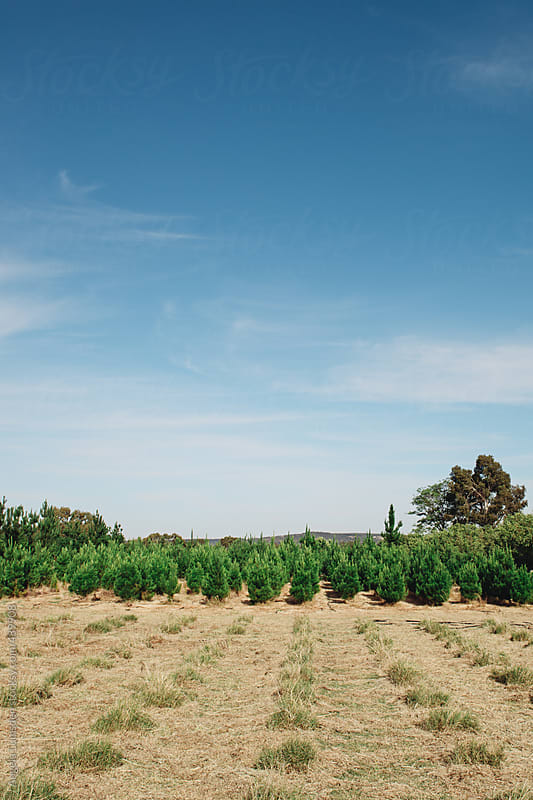Rows of christmas tree stumps in front of uncut trees at a christmas tree farm in Australia by Angela Lumsden for Stocksy United