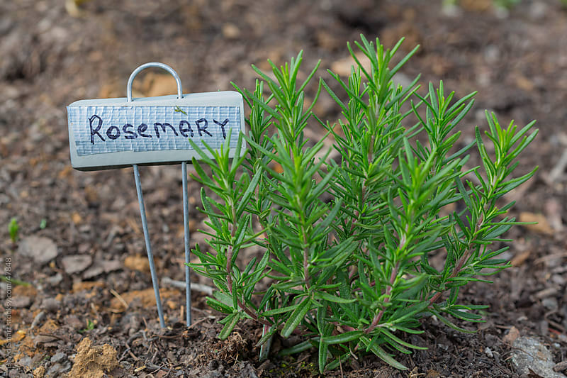Small rosemary plant, with a handmade sign, growing in a garden. by David Smart for Stocksy United