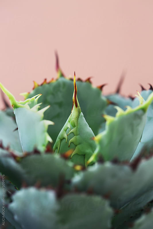 Detailed View Of An Agave Plant With Sharp Thorns by ALICIA BOCK for Stocksy United
