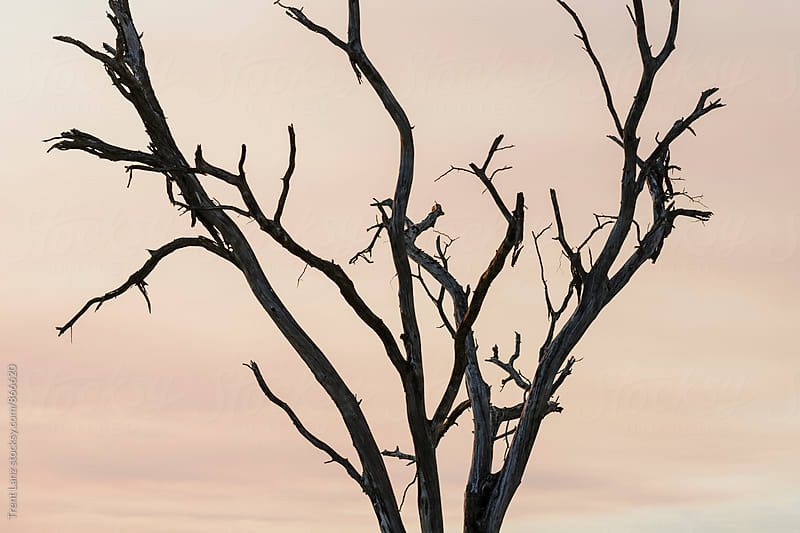 Close up of leafless tree in african safari by Trent Lanz for Stocksy United