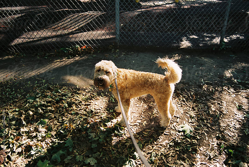 Soft coated wheaten terrier on expired film by Jen Grantham for Stocksy United