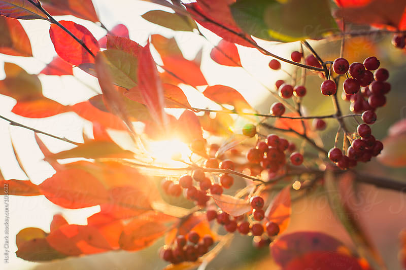 The setting sun shines brightly through the leaves of a winterberry bush. by Holly Clark for Stocksy United
