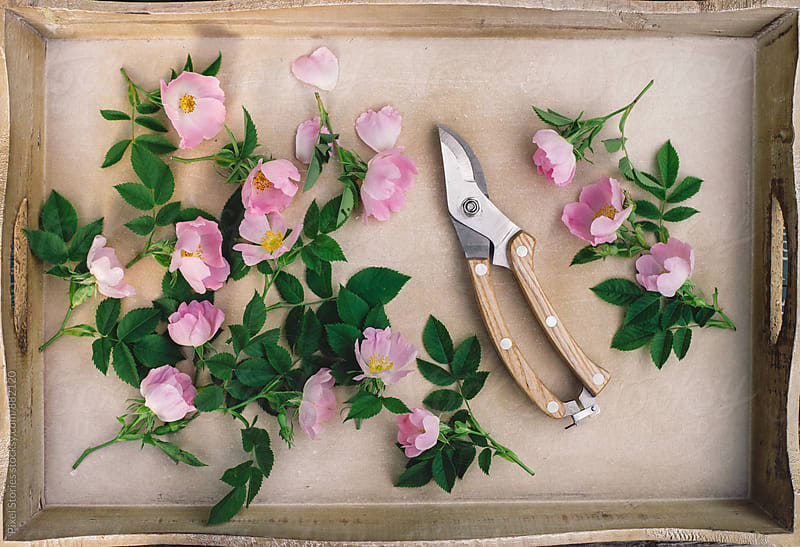 Picking dog rose flowers by Pixel Stories for Stocksy United