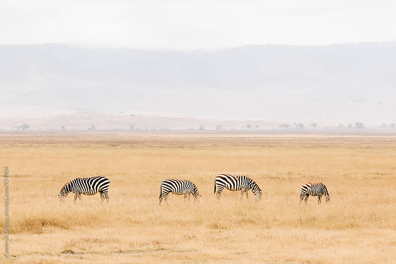 four zebras eating grazing in Ngorongoro Crater, Tanzania by Cameron Zegers for Stocksy United