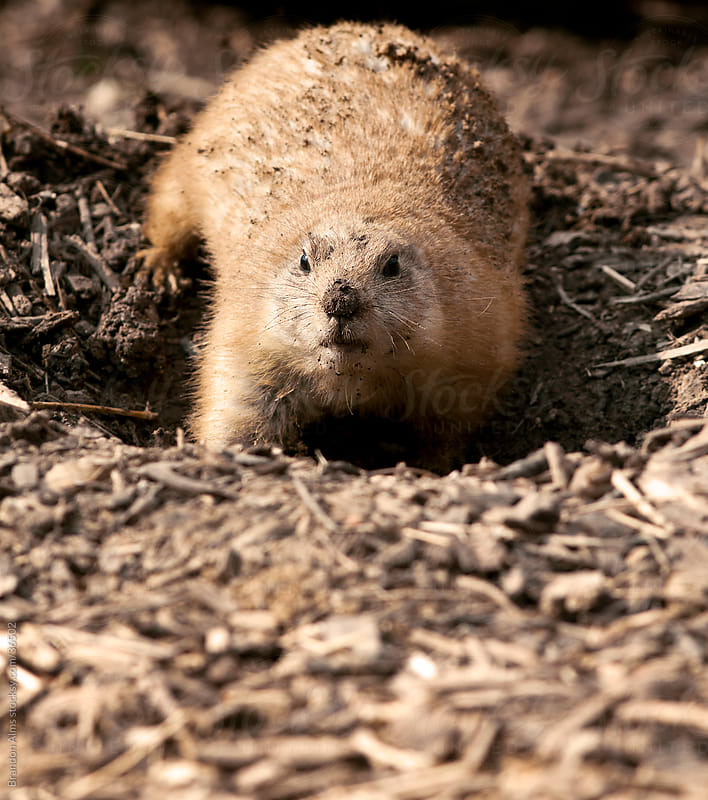 Prairie Dog Closeup Digging a Hole in the Ground by Brandon Alms for Stocksy United