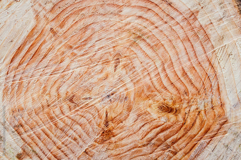 Tree rings on freshly cut evergreen, close up by Paul Edmondson for Stocksy United