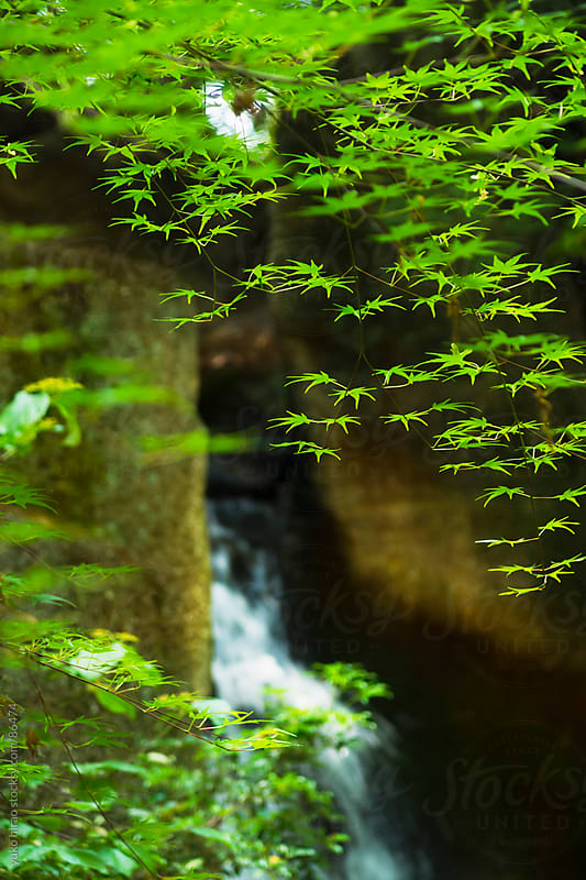 Japanese maple leaves over a waterfall in spring by yuko hirao for Stocksy United