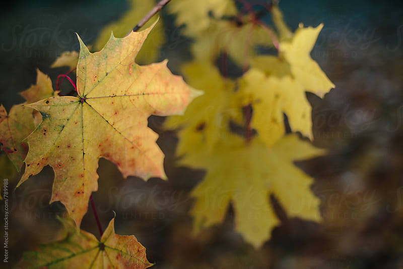 Part of a tree with autumn leaves by Peter Meciar for Stocksy United