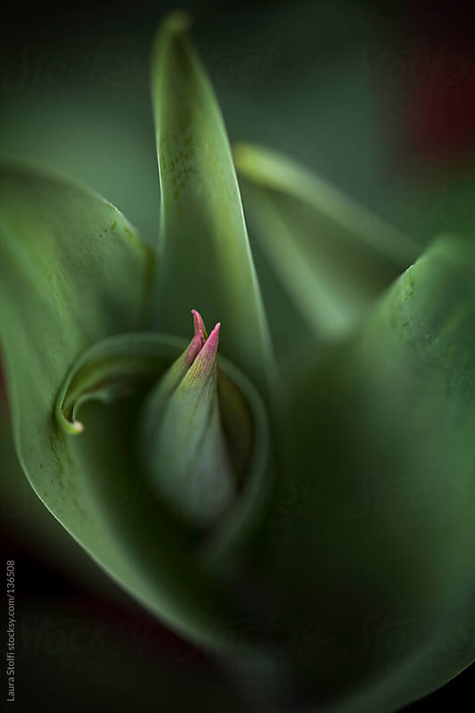 Tulip bud and curvy leaves by Laura Stolfi for Stocksy United