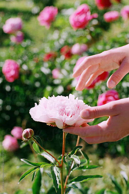 Woman touches a peony. Only hands by Lyuba Burakova for Stocksy United