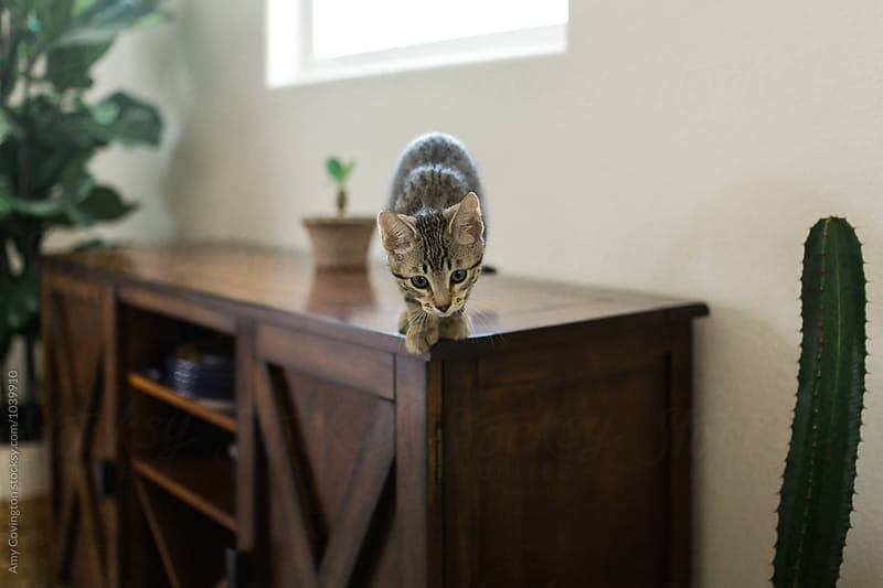 A kitten getting ready to leap off of a cabinet  by Amy Covington for Stocksy United