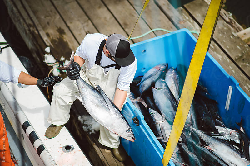 Fisherman unloads tuna from boat at the dock by Kate Daigneault for Stocksy United