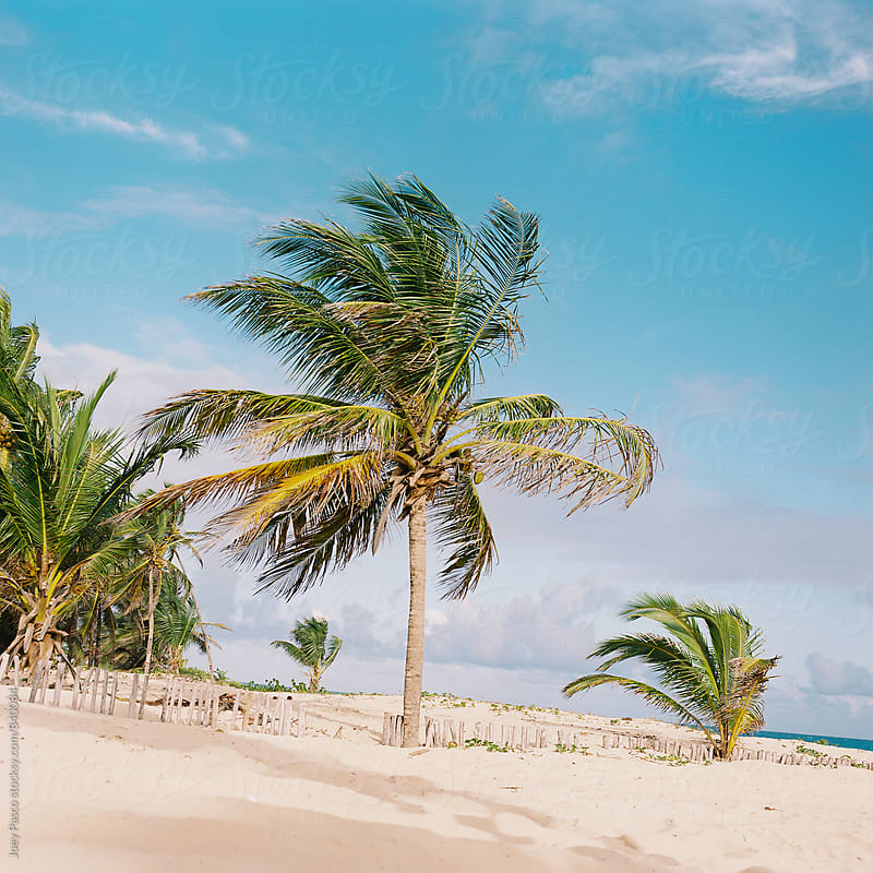 Palm tree stands guard at the border of beach resort and Dominican jungle by Joey Pasco for Stocksy United