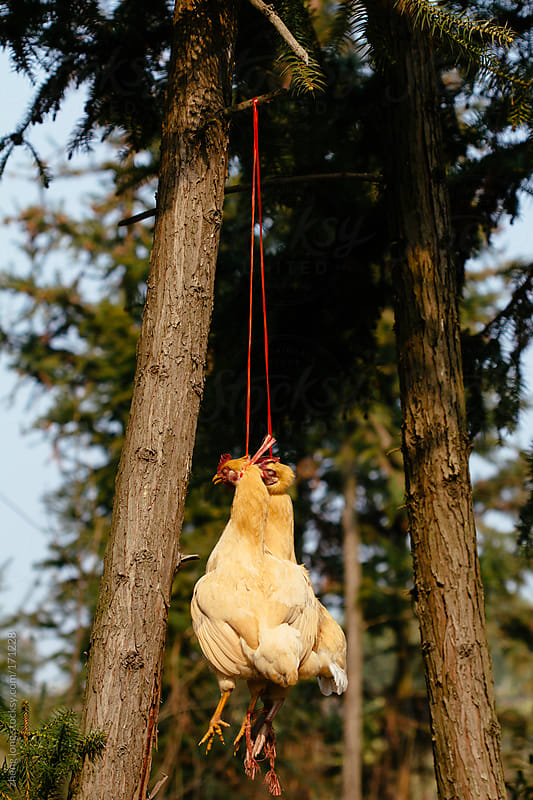 Chinese yellow  chickens are  hanging on a tree by zheng long for Stocksy United
