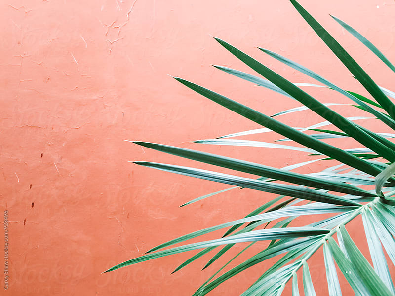 Palm Tree against pink wall by Carey Shaw for Stocksy United