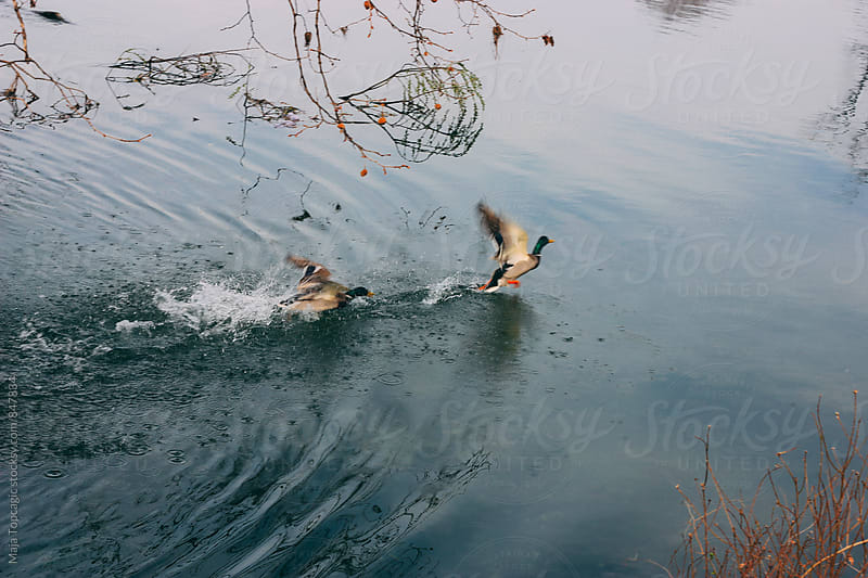 Two ducks flying over the river surface by Maja Topcagic for Stocksy United