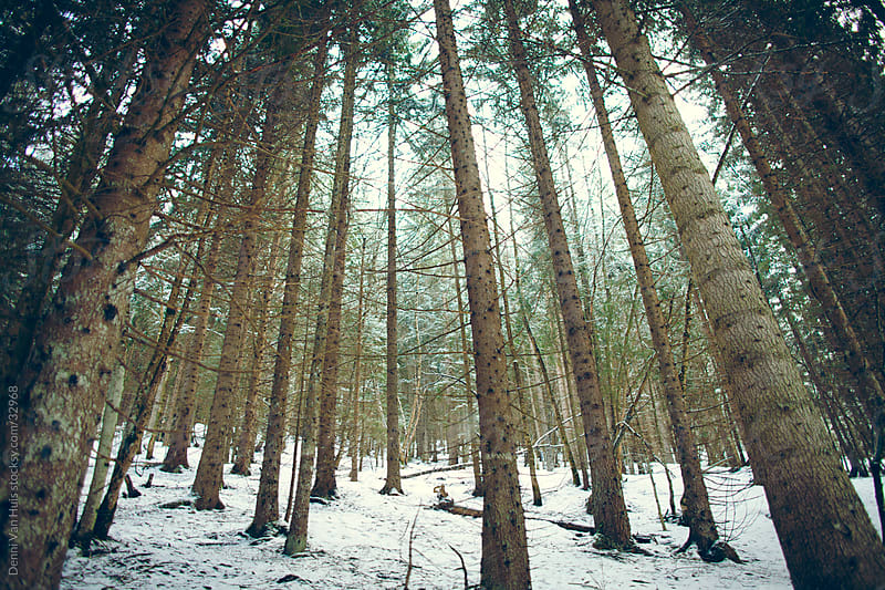 Pine trees reaching for sunlight in a dark snow covered forest by Denni Van Huis for Stocksy United