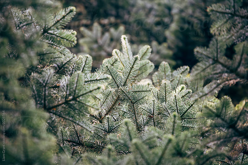 Detail of a Noble Fir tree (Abies Procera). Norfolk, UK. by Liam Grant for Stocksy United