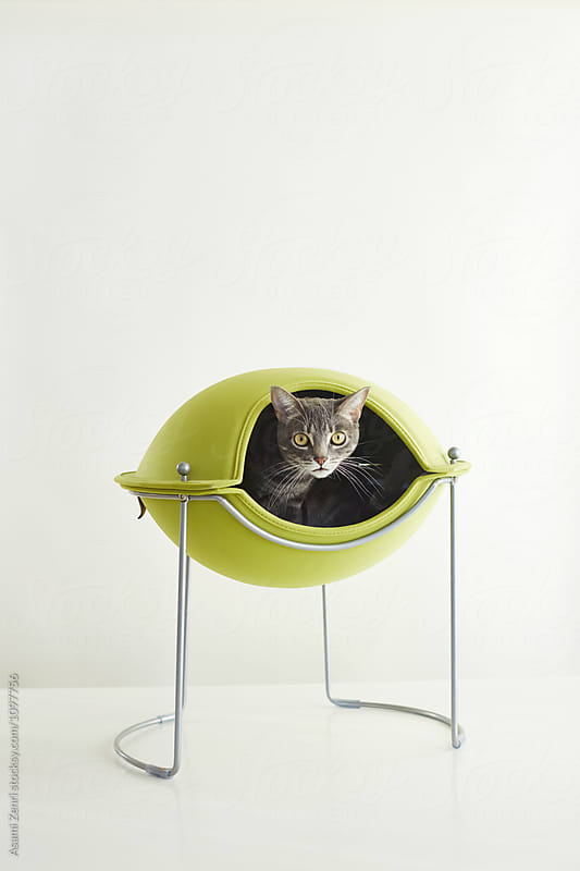 Cat in cat bed by Asami Zenri for Stocksy United